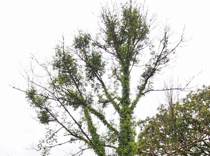 Ash Dieback 2 - Vale Tree Surgeons