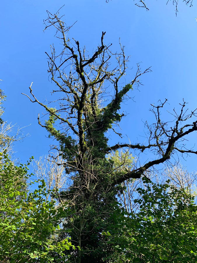 Ash Dieback 3 - Vale Tree Surgeons